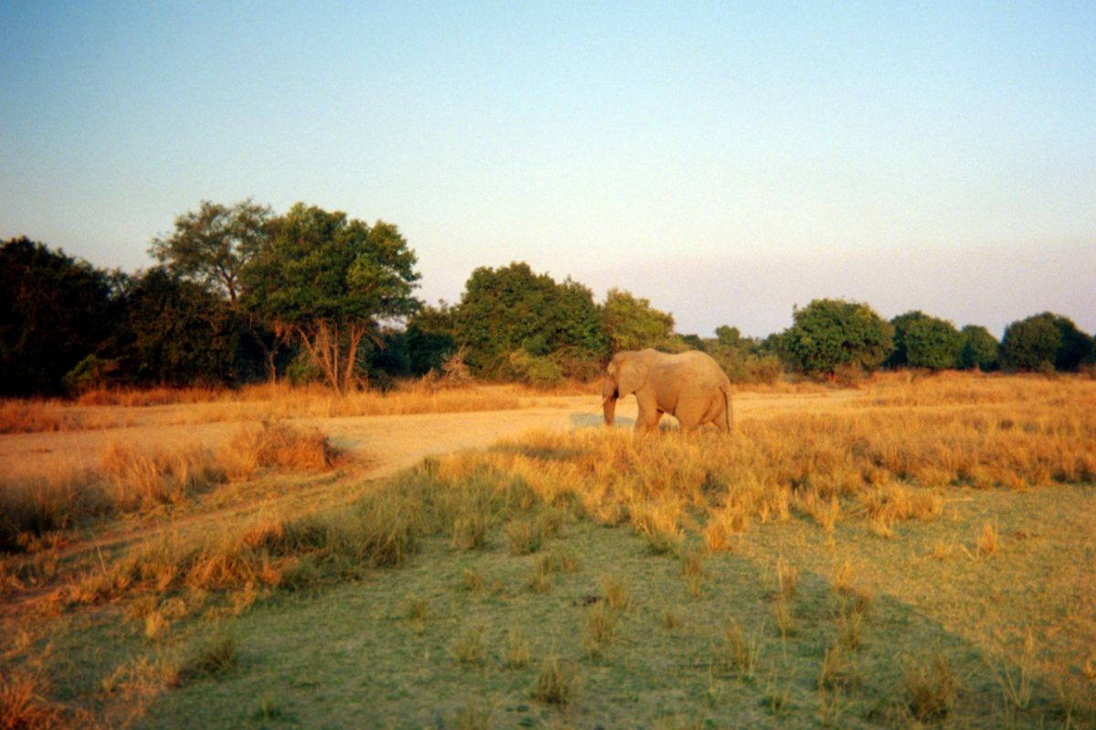 Elephant walking in a meadow just before the sun sets in zambia's south luangwa national park