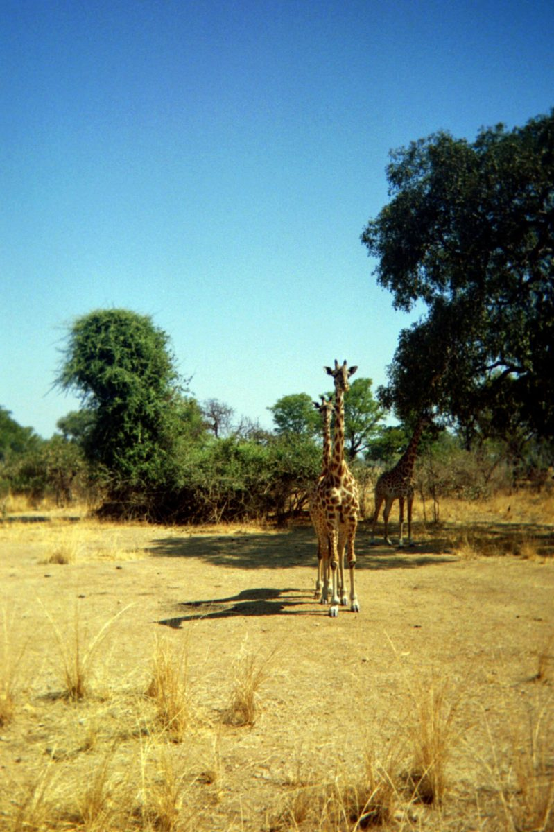 giraffes stand at attention in a field in zambia's south luangwa national park