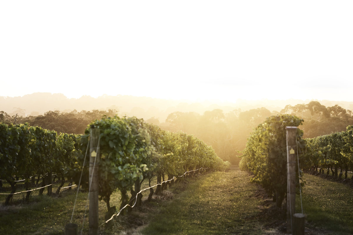 Golden sunlight illuminates the rows of a vineyard.