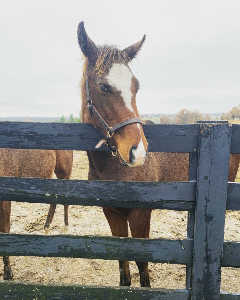 colt thoroughbred peering over a wooden fence