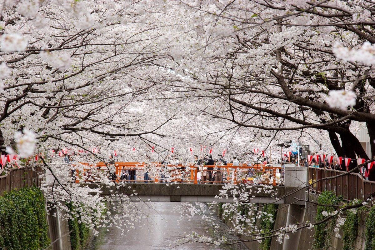 people walking across a bridge in the middle of a canal lined with sakura trees