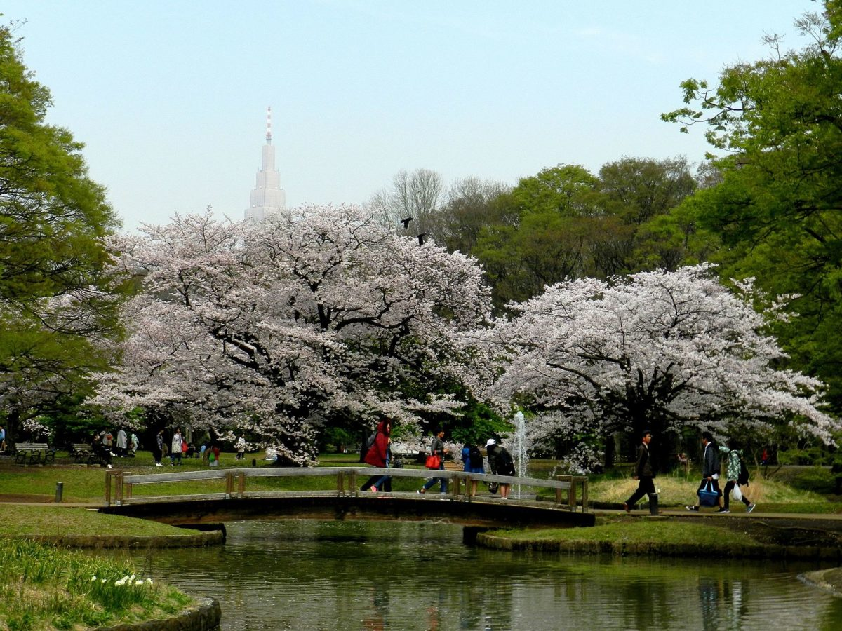 people in a green park filled with sakura trees