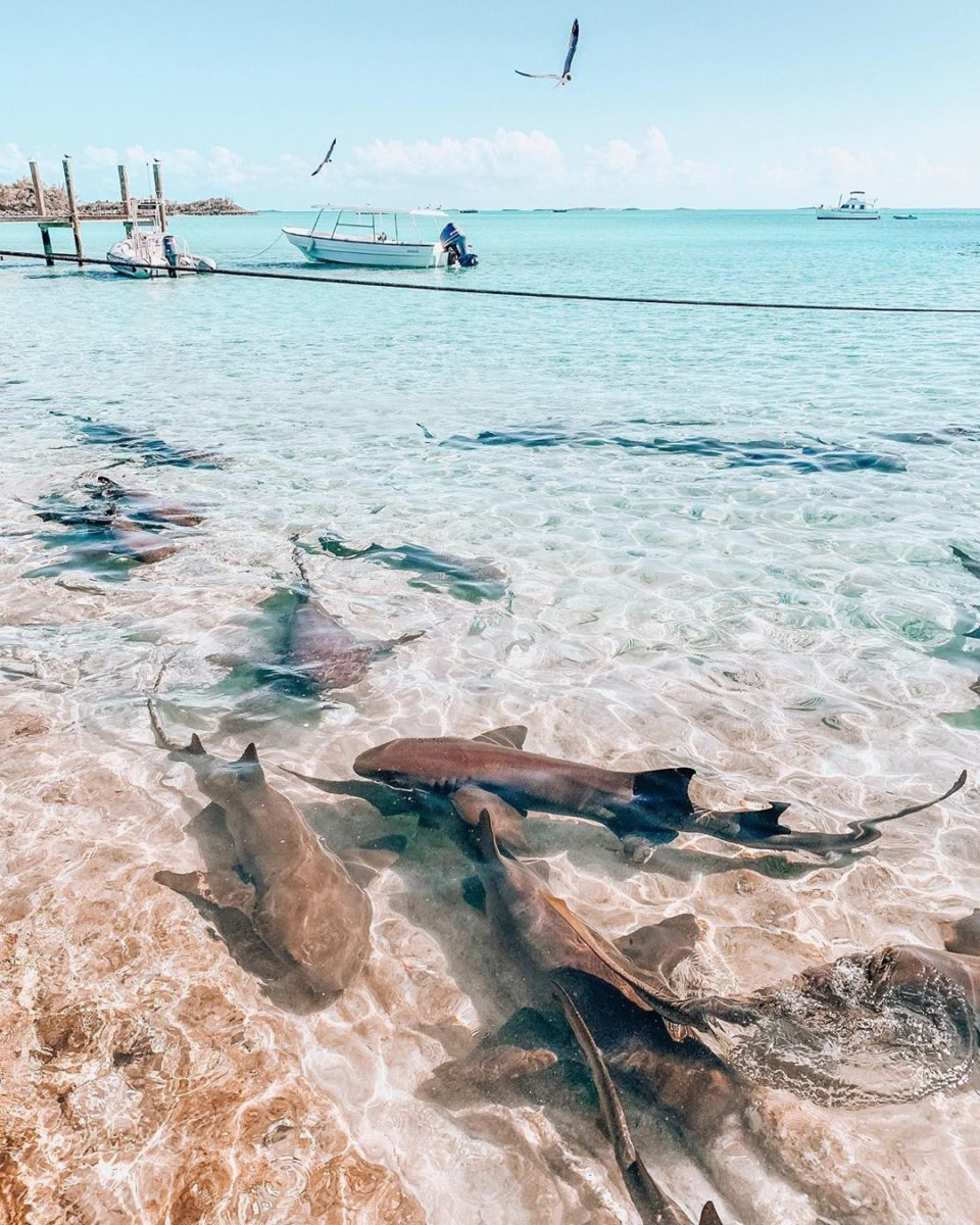 a herd of nurse sharks swimming near the crystal clear shore water
