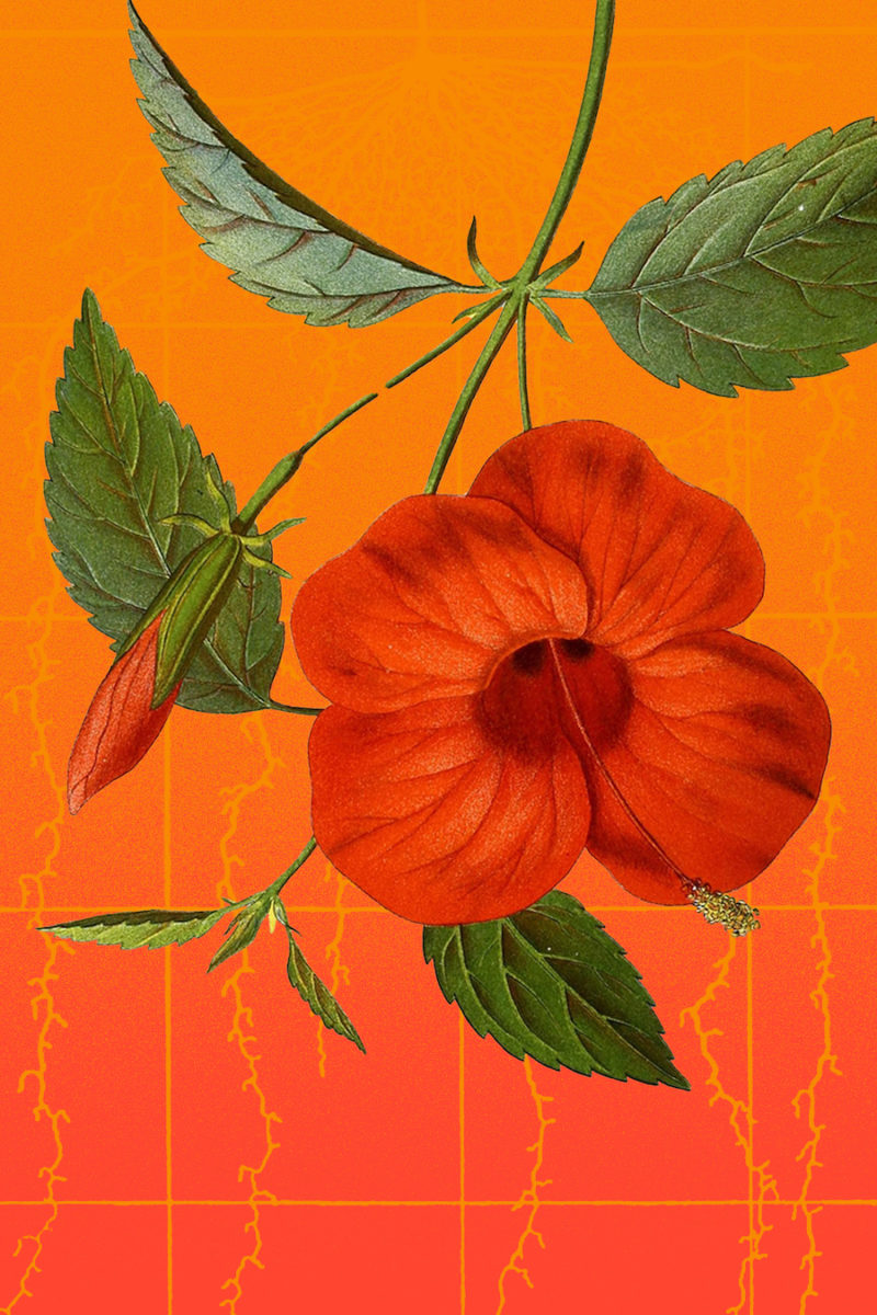 an illustration of a hibiscus flower