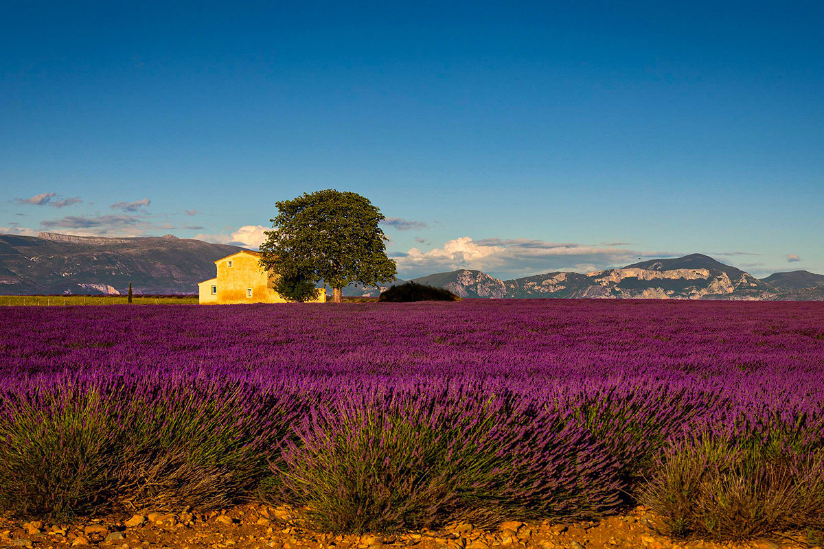 a house and tree in a field of lavender