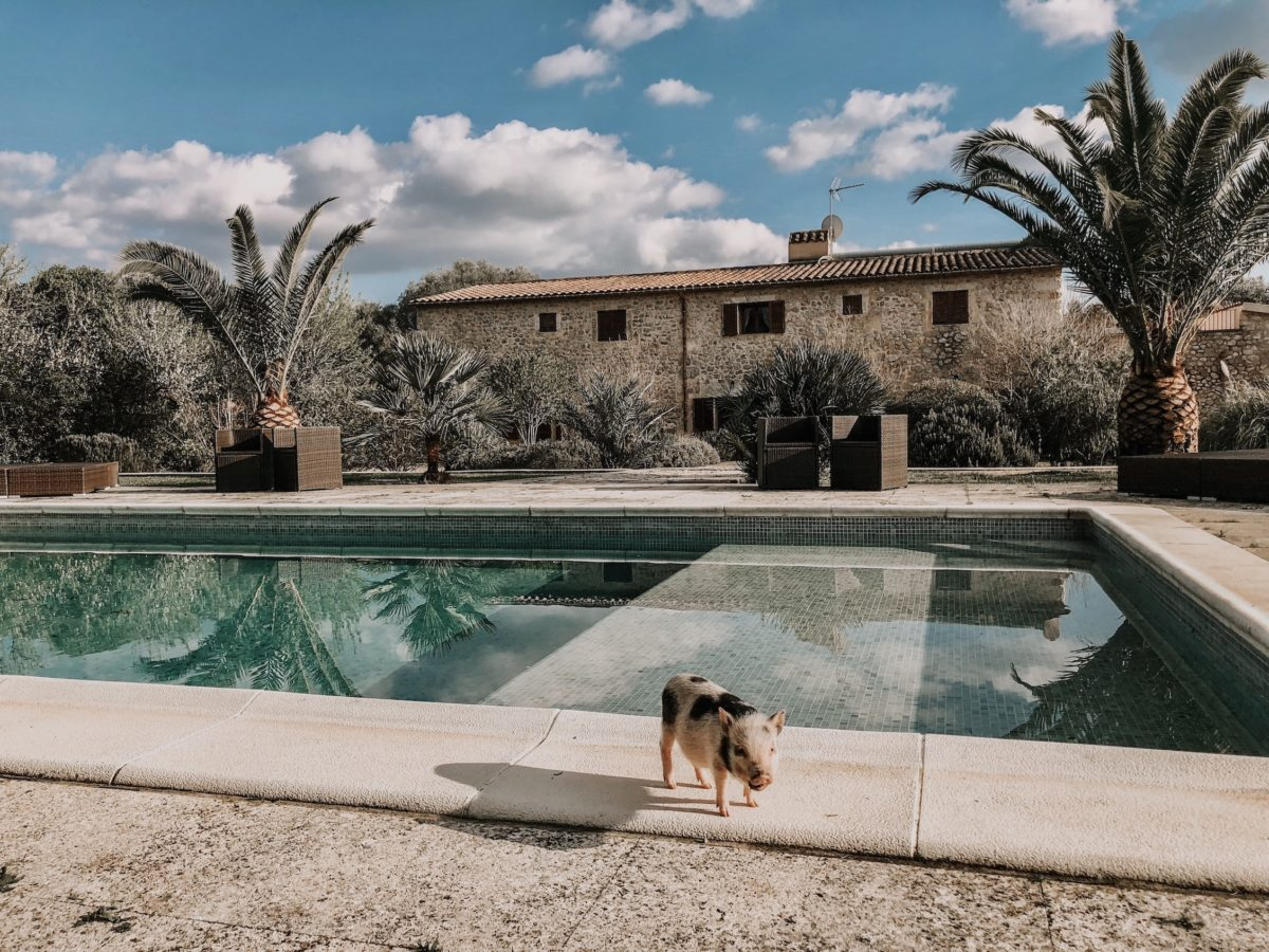 a pig in front of a villa pool