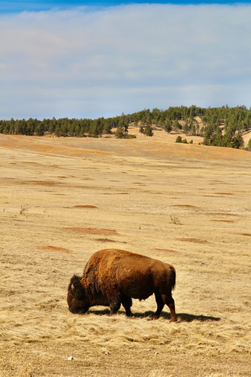 a buffalo on a plain
