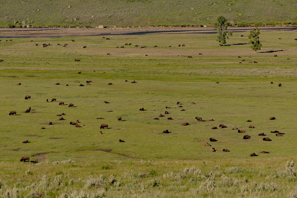herd of bison in a green pasture