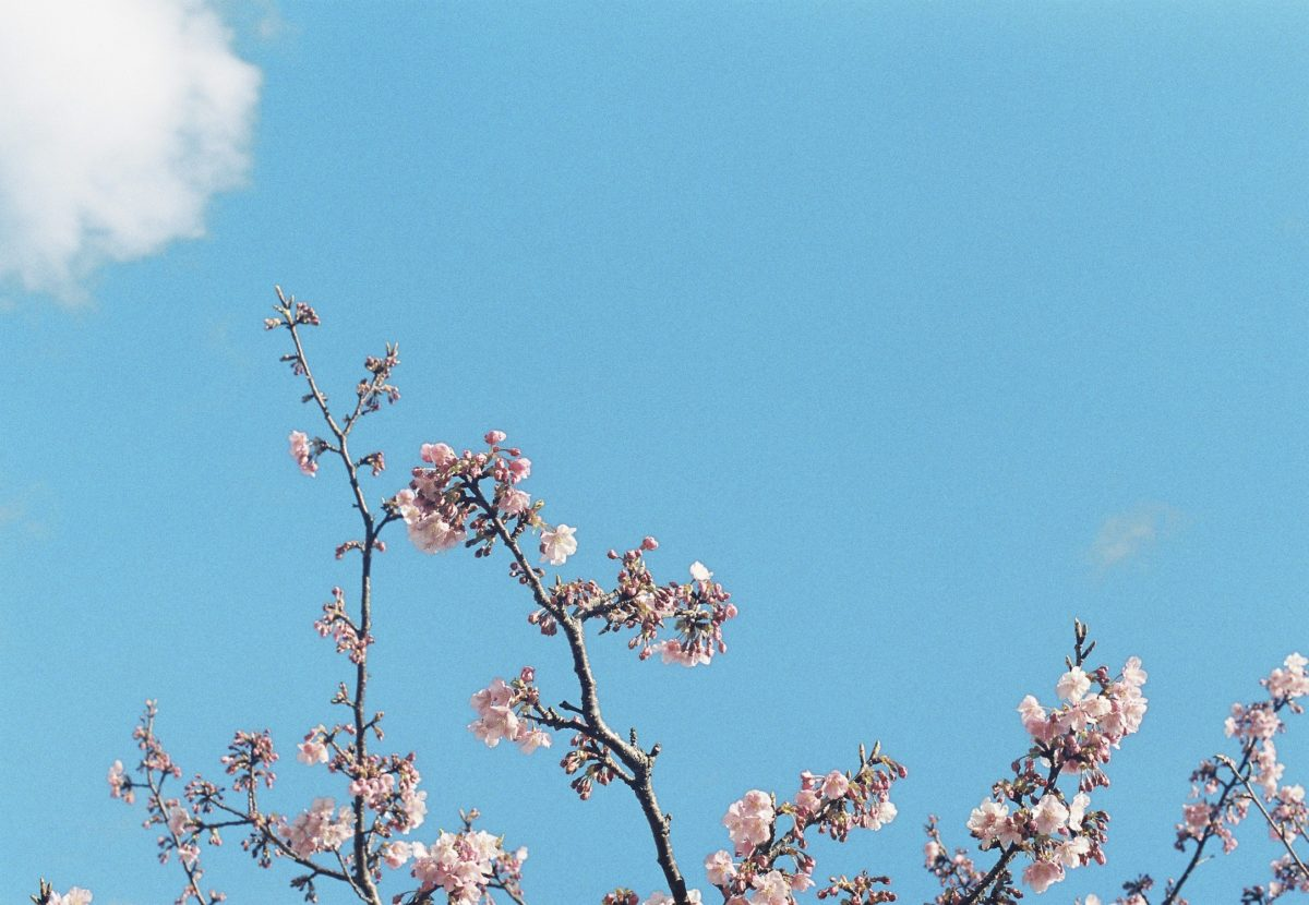 cherry blossom branches against the sky
