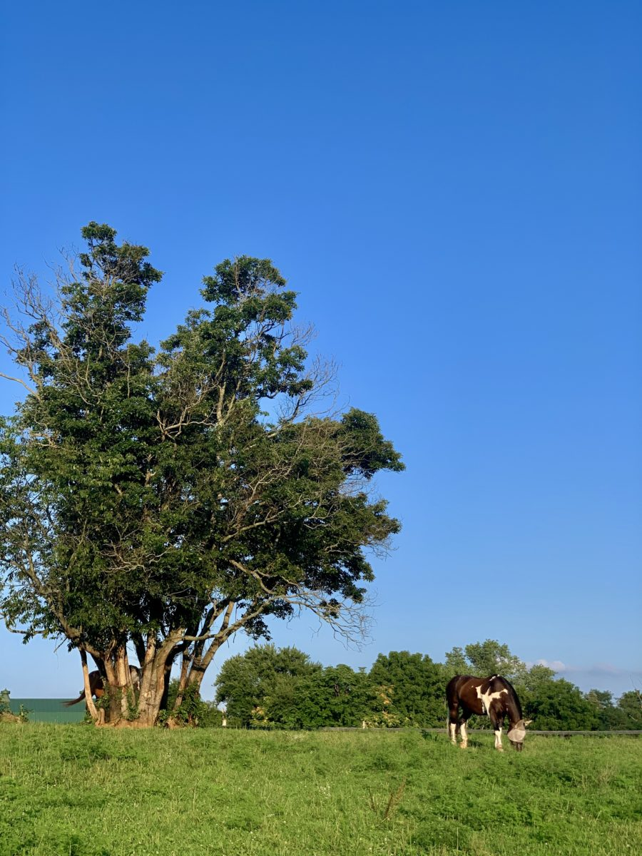 horse eating grass by a tree on a pasture