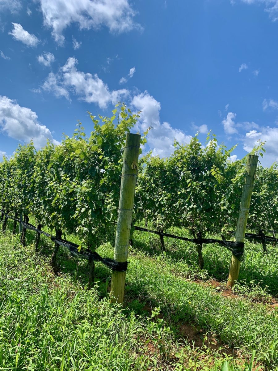 two rows of vineyard on a sunny day
