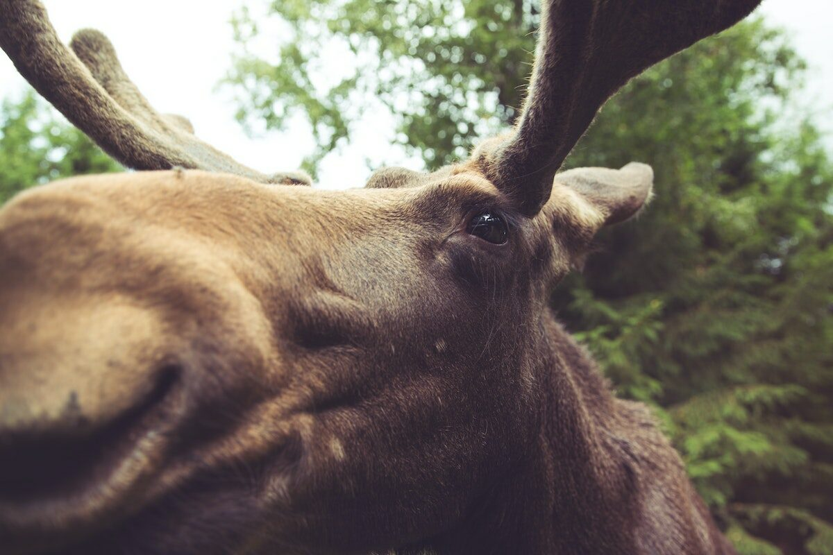 close up of a moose's face in the woods