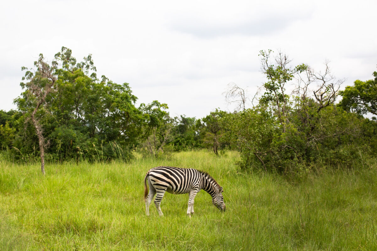 a zebra in a field