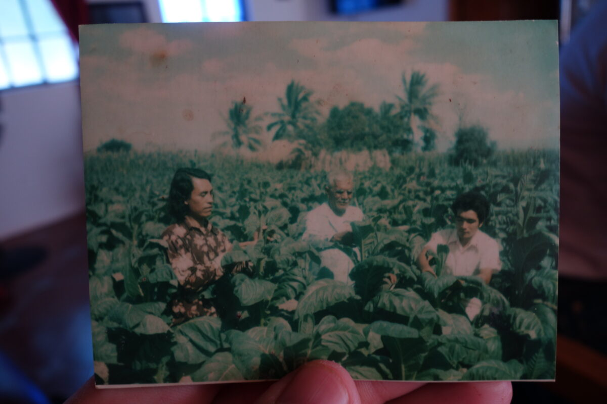 three people working in a tobacco field